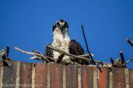 osprey_71