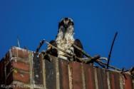 osprey_72