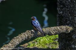 Swallow_2