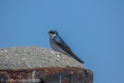 Swallow_2
