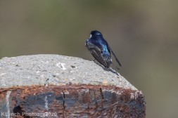 Swallow_4