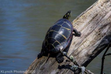 Turtle_10