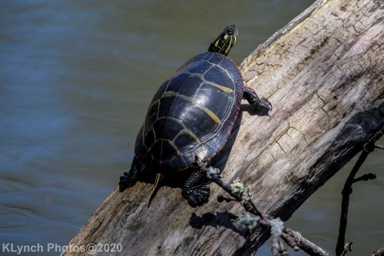 Turtle_11