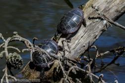 Turtle_5