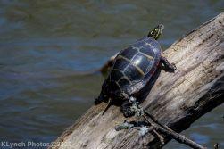 Turtle_7