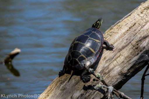 Turtle_8