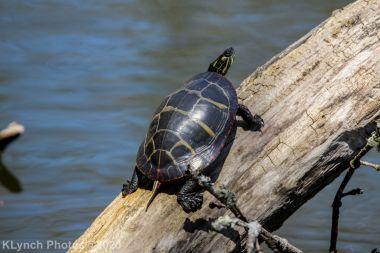 Turtle_9