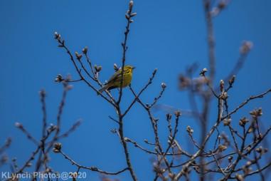 Warbler_1