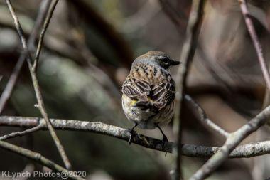 warbler_10