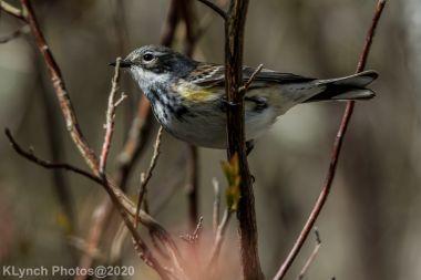 warbler_15