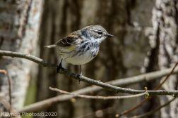 warbler_4