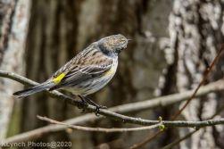 warbler_7