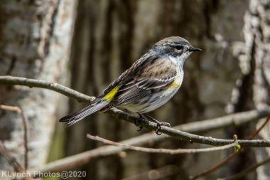 warbler_9